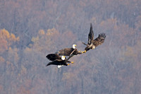 Two Adult Bald Eagles With one Sub-Adult