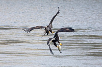 Sub-Adult Bald Eagle trying to steal a fish from an Adult Bald Eagle