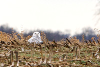 Snowy Owl spotted near Mercersburg, PA