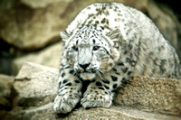 Snow Leopard ready to pounce.